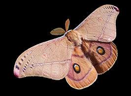 266px-Emperor_Gum_Moth