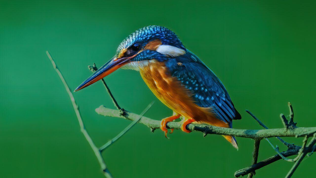opgezette vogels